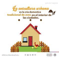 La avicultura urbana es la cria domestica tradicional de aves en el interior de las ciudades. SAGARPA SAGARPAMX #MéxicoSiembraÉxito