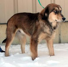 Meet Leonardo DiCaprio, an adopted Collie & Australian Shepherd Mix Dog, from Humane Society of Preble County in Eaton, OH on Petfinder. Learn more about Leonardo DiCaprio today. Golden Husky Mix, Leonardo Dicaprio, Shepherd Mix Dog, Golden Retriever Mix, Cutest Dog Ever, Dogs And Puppies, Doggies, Australian Shepherd, Humane Society