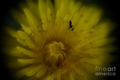 https://fineartamerica.com/featured/alluring-photos-by-zulma.html  #flower #ant #macro #dimesize #fineartphotography #Zulma #photo