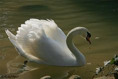 Mute Swan - Rome, Italy - Google+