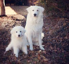 #greatpyrenees #animals #photography #dogarethebest #puppies