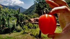 """Ecco il nostro #pomodoro Re Umberto, detto #Fiascone ritornato nella """"sua"""" terra...(#Tramonti, #CostieraAmalfitana)"""