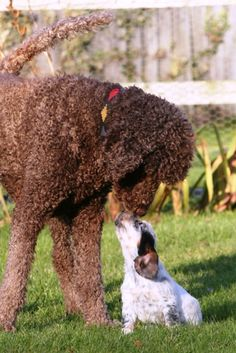 Whirly, my standard brown poodle and a cocker puppy.