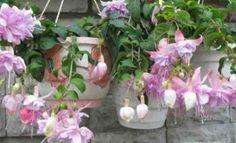 Ампельные цветущие растения