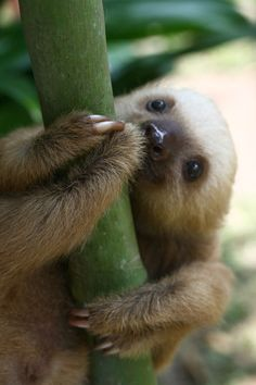 Baby Sloth, I have wanted one as a pet since i was a little girl living in South America...one of my most fav animals ever...incredibly soft, very cuddly