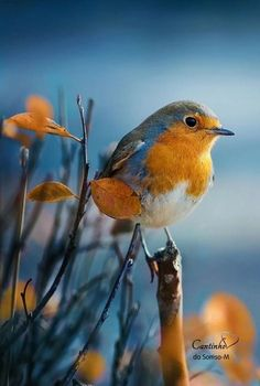 New Ideas for european robin bird All Birds, Cute Birds, Pretty Birds, Little Birds, Beautiful Birds, Animals Beautiful, Cute Animals, Robin Vogel, Robin Bird