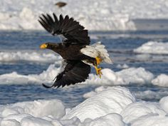 Steller's Sea-Eagle in Flight by Brian Skerry Photography