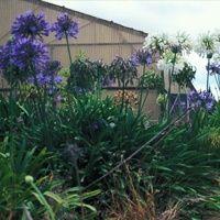 Vijver en Tuincentrum Pelckmans: Agapanthus praecox