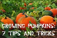Growing Pumpkins: 7