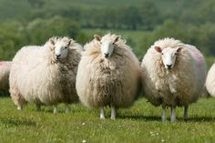 The South Country Cheviot is a white faced hill sheep from the Scottish Borders. The Cheviot ewe can be found up to 3000 feet and is expected to live off the hill throughout the year.