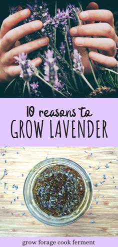 Lavender is a great plant to grow and cultivate. Not only is it beautiful, but it's incredibly useful too! Lavender is both edible and medicinal, as well as easy to grow in containers or in your backyard garden. Here are 10 reasons to grow lavender, and ways to use lavender in your kitchen or your herbalism practice. Kitchen Gardening, Gardening Hacks, Gardening For Beginners, Diy Garden Projects, Garden Ideas, Growing Herbs At Home, Growing Lavender, Starting A Garden, Garden Guide