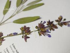 50 Samen Salvia officinalis Echter Salbei