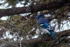 Blue Jay, Photography, Animaux, Photograph, Fotografie, Photoshoot, Fotografia