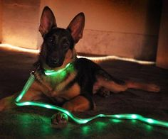 LED dog leash and collar. We deliver advertising campaigns throughout the UK and Europe, but we also welcome enquiries from around the globe too! For all of your advertising needs at unbeatable rates - www.adsdirect.org.uk Led Dog Collar, Dog Toys, Pet Dogs, Your Dog, Dog Gadgets, Cool Dog Beds, Awesome Inventions, Pet Collars, Beams