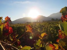 Sunset on the thru the vines, Cape Town