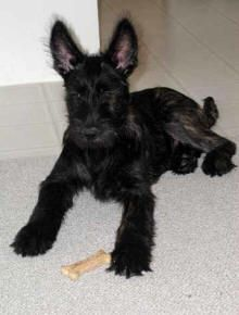 My daughter wants one of these dogs.  Berger Picard puppy