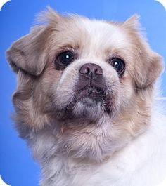 Chicago, IL - Pekingese. Meet Pekingese, a dog for adoption. http://www.adoptapet.com/pet/15188721-chicago-illinois-pekingese