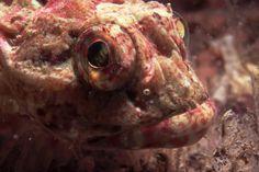 Scorpion fish by Tim Nicholson, Isle of Man