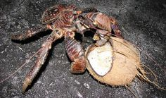 """""""This has to be one happy coconut crab: it's enjoying its namesake meal, after all. Coconut crabs have a few tricks up their sleeves (or do we mean claws?) when it comes to getting inside the hard exterior of the fruit. One method observed is that the crabs climb up a palm tree, coconut in tow, and drop it from a height. The crab itself then drops from the tree (which they can do from a height of 15 feet, unharmed) to hopefully find its meal conveniently cracked open from the fall."""""""