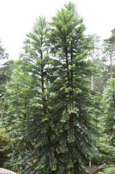 Wollemi Pine (Wollemia nobilis)   par Janspen