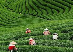 Places - Hangzhou, China famous for its tea.  Places I have been