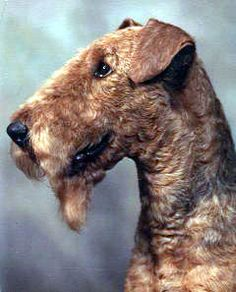 Airedale terrier one of the most handsome, smart, Loyal and many more outstanding qualitys what an AWSOME Dog!!