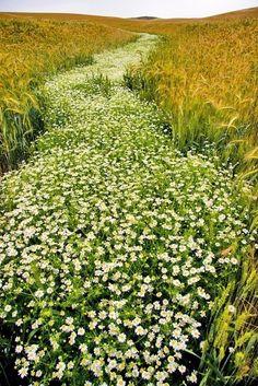 garden river of daisies