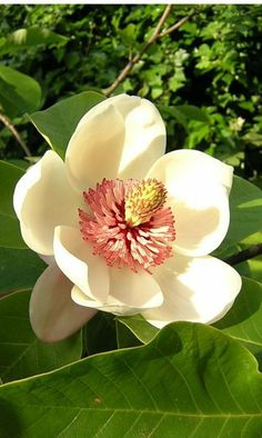 Beautiful Magnolia bloom~~~ one of the most beautiful flowers! Flor Magnolia, Magnolia Trees, Magnolia Flower, Magnolia Wedding, Bloom, My Flower, Beautiful Flowers, Flower Oil, White Flowers