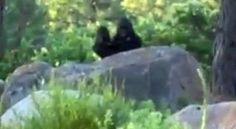 """Original bigfoot with baby video. This is another """"blue vest"""" character. Two bogus videos from a single source. Bigfoot Video, Bigfoot News, Bigfoot Sasquatch, Atlantis, Aliens, Bigfoot Sightings, Yeti Sightings, Bigfoot Photos, Pie Grande"""