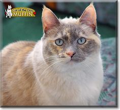 Read Muffin the tortoisepoint Siamese mix's story from Colorado and see her photos at Cat of the Day http://CatoftheDay.com/archive/2010/September/19.html .