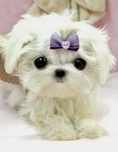 5 Most Adorable Teacup Puppies ~ The Pet's Mart