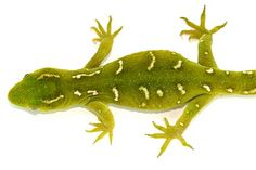 Naultinus elegans elegans #geckos #lizards