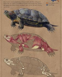 A study of the red-eared slider, a very common turtle in the USA. Dog Anatomy, Animal Anatomy, Anatomy Study, Anatomy Art, Anatomy Reference, Art Reference, Anatomy Sketches, Anatomy Drawing, Animal Sketches