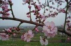 Mandelblüten in Gimmeldingen