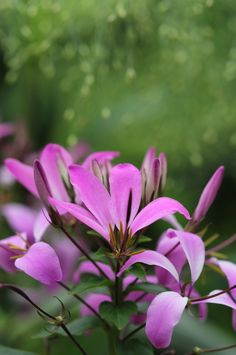 Cleome hassleriana, photographer Rachel Myers.  An upright annual with attractive palmate foliage and quirky white and pinkish-purple flowers.  Up to 1.5m and flowering July-August.