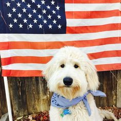 Happy Memorial Day!  Thank you to all that made the ultimate sacrifice! . #dogsofinstagram #doodleselfie #goldendoodleselfie #goldendoodlesofinstagram #happymemorialday #dogsofco #dogsofcolorado #dogsofworld #dogscorner #goldendoodles #ruffpost #barkbox #lacyandpaws #topdogphoto by bernie_the_goldendoodle