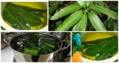 Exalt: Mango Leaves To Control Diabetes Without The Need For Medication