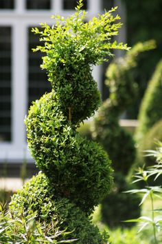 "Classical spiral topiary. i love the tuft of ""hair"" on top lol"