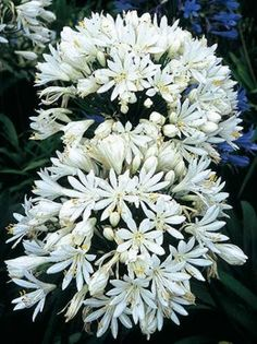 white agapanthus 'White Heaven'...a few stems look wonderful as the focal flowers