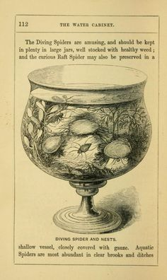 Diving spiders are amusing, and should be kept in plenty in large jars… The book of the aquarium and water cabinet. 1856.