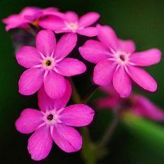 фото цветы незабудки: 19 тыс изображений найдено в Яндекс.Картинках