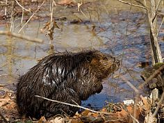 WV State Parks with Cabins   ... falls state park busy beaxer beaver at sandstone west virginia