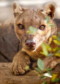 sdzoo:  The fossa is the top predator in Madagascar. The modern mongoose and the fossa evolved from the same ancestor, which arrived on the island about 21 million years ago. (photo by Paul Manaig)