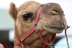Camel   #PDSCplay Day 74: 15-March-2014