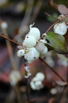 2012-12-26: snow berries