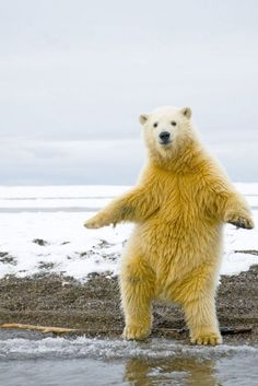 A polar bear dancing on its hind legs.