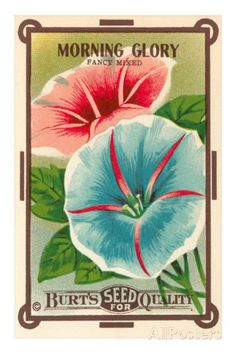 vintagemorning glory seed pack | Morning Glory Seed Packet Premium Poster
