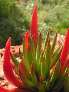 Crassula nudicaulis 'Devil's Horns' is an interesting succulent plant that blushes bright red when exposed to bright direct light. The long...
