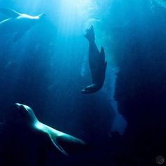 Photo by @jonathankingston California sea lions perform a underwater ballet in the spotlight of the sun - while warily keeping an eye out for their chief predator - the great white shark.  Nestled in the Pacific Ocean 38 miles off the southern California coast Santa Barbara Island is part of the Channel Islands National park and is home to a large rookery of sea lions. @natgeocreative by natgeotravel