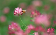 Pink Florals   1920x1200 Bee and pink flower desktop PC and Mac wallpaper